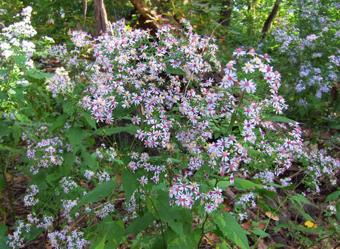 Symphyotrichum cordifolium (Blue Wood Aster) is great for accommodating late season pollinators in open woodlands.