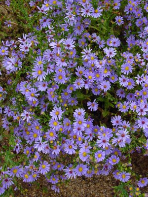 Symphyotrichum laeve, Smooth Aster, is a popular native Aster providing purple flowers with distinctly yellow center on unbranched stems, attracting a plethora of butterflies.