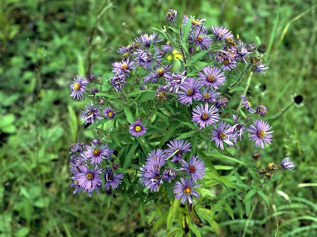 Symphyotrichum novae-angliae (New England Aster) provides great late flowers for bees, butterflies and as a larval host for the Crescent Butterfly.  Nice in the back of any garden.