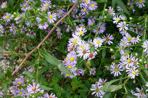 Symphyotrichum puniceum (Swamp Aster) There seems to be an aster for every setting!  This aster, with striking purple stems, is particularly useful for wet sunny areas like rain gardens!
