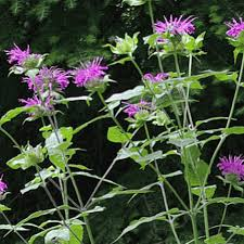 Monarda media, commonly known as Purple Bergamot or Purple Bee Balm, is a beauty in the Monarda group, flowering a tad before M. fistulosa and pairing nicely
