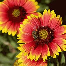 Gaillardia pulchella, Indian Blanket, is a showy, self-seeding annual with large daisy-like, red flowers lasting the whole summer, attracting lost of bumblebees.  Leave the flower-heads to encourage reseeding and feeding the birds.