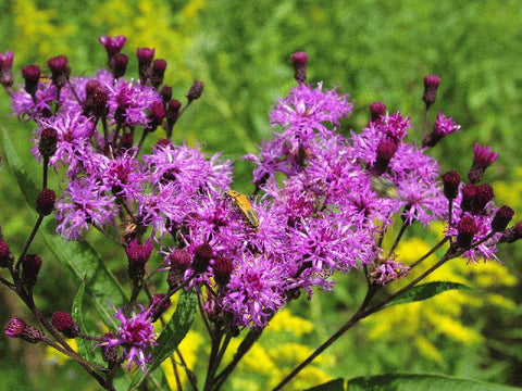 Vernonia noveboracensis (New York Ironweed) is a robust, statuesque wildflower with high pollinator value and great deep red-purple flowers for the late summer.