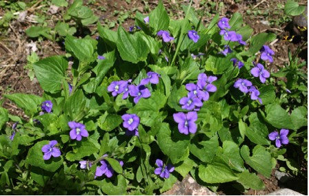 Viola sororia (Common Blue Violet), ground cover for pollinator gardens