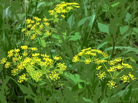 Zizia aurea (Golden Zizia or Golden Alexander) for naturalizing pollinator garden