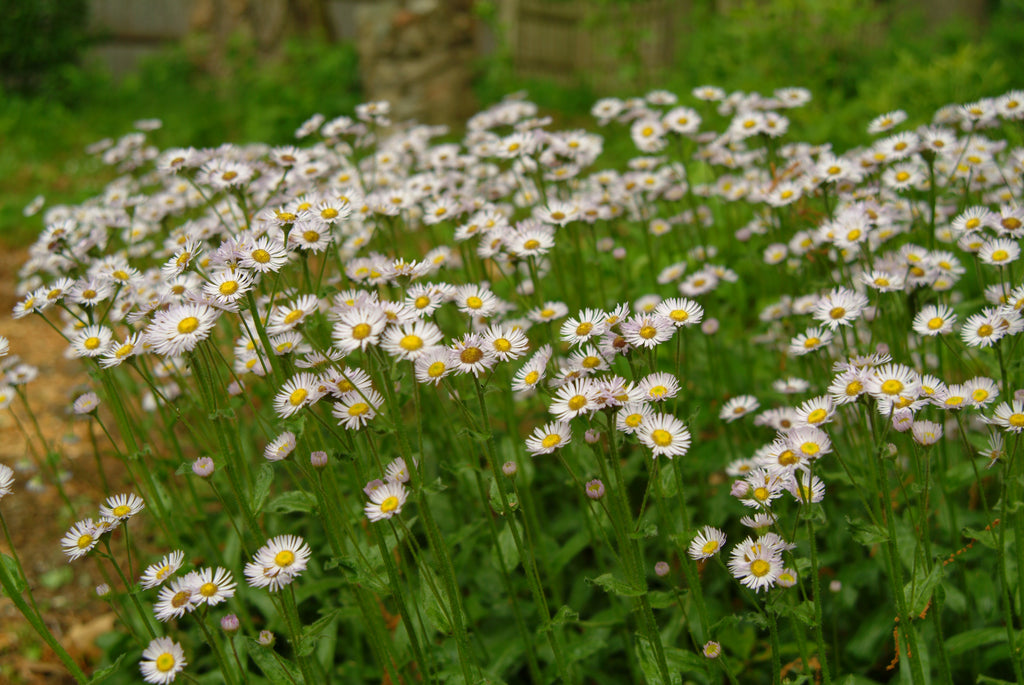 Erigeron pulchellus, Robin's Plantain, will self-seed and spread through stoloniferous roots to form a pleasing ground cover with aster-like flowers.
