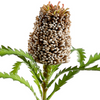 Real Touch Banksia Spray LOCAL ONLY