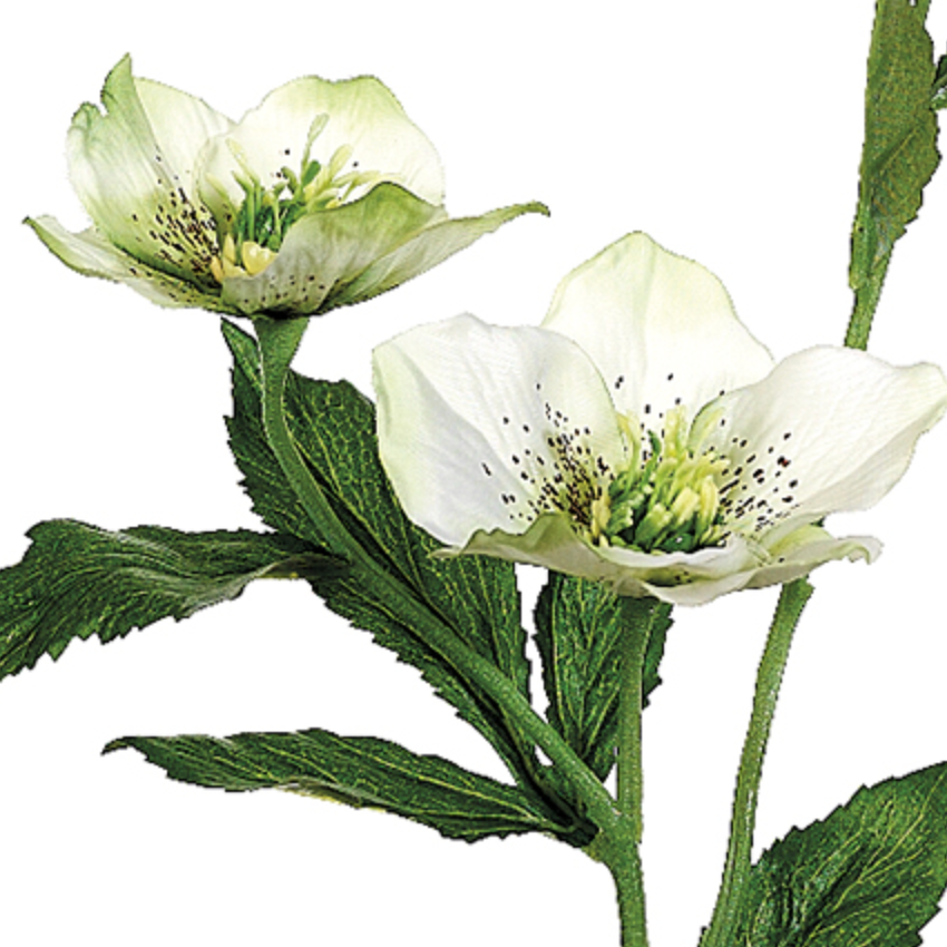 Helleborus Spray LOCAL ONLY