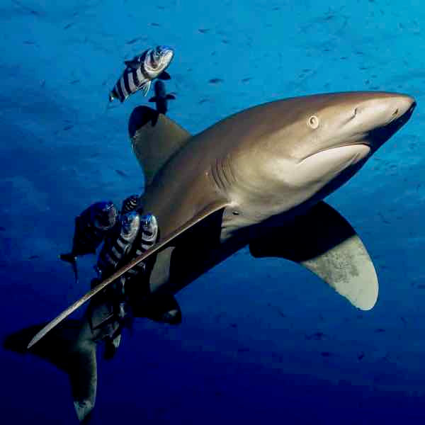 Whitetip shark in its natural environment.