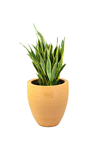 Sanseveria & Pot Ravel