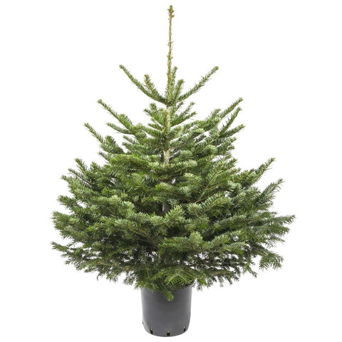 Sapin de Noël naturel en pot