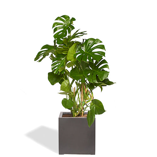 https://cdn.shopify.com/s/files/1/1063/7402/files/Bureau-monstera-sans-tuteur-pot-bleu_bd_1500x.jpg?v=1604068783
