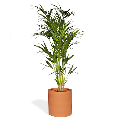 Julia Palmier Kentia 220/240cm Pot Cylindre Marron Mat