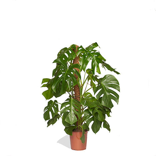 Lily Rose Monstera avec tuteur 120/140cm Pot de culture