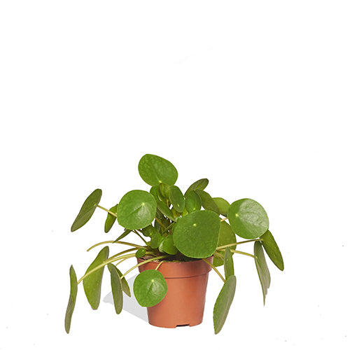 Pauline Pilea 40/60cm Pot de culture