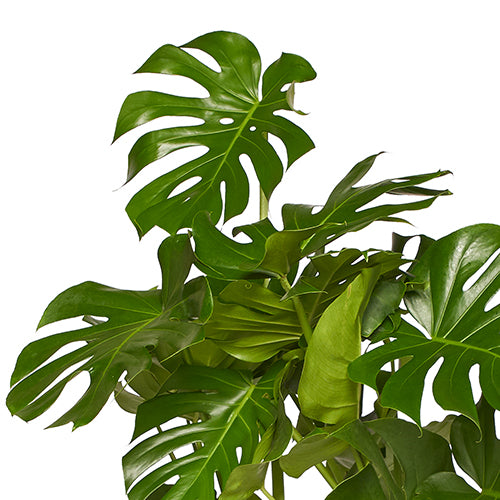Jacques Monstera sans tuteur 80/100cm Zoom Feuille