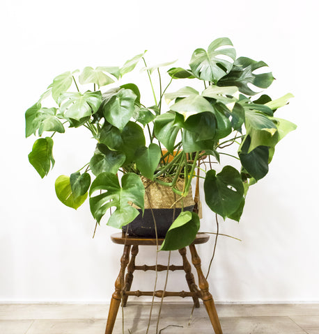 Monstera à pailleter - DIY // Paris Pousse x Si Si La Paillette
