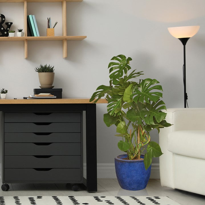 Jacques Monstera sans tuteur 80/100cm Pot Bleu Marjorelle