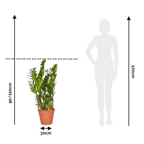 Nathalie Zamioculcas 90/110cm Comparaison Taille Humain