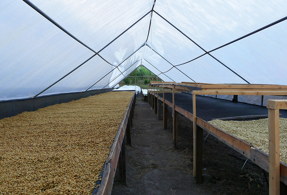 Costa Rica Drying Bed