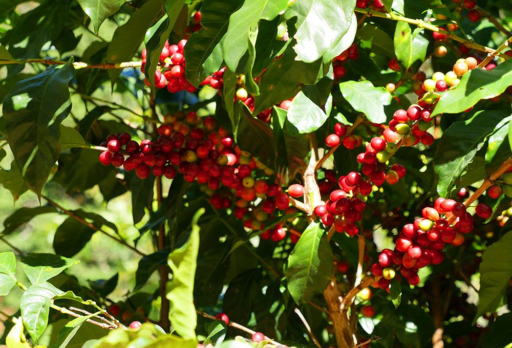 Coffee Production in Costa Rica
