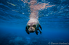 Labor of Love - Freediving with an Endangered Hawaiian Monk Seal