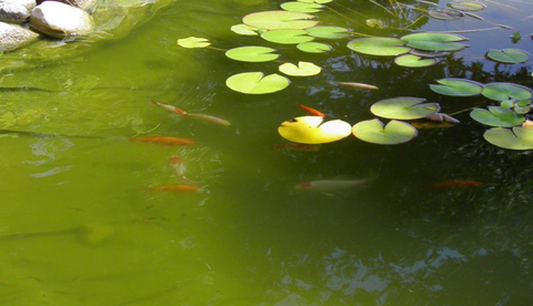 REASONS WHY YOUR POND IS GREEN! #GREENPOND101