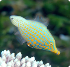 Ikan Laut Filefishes