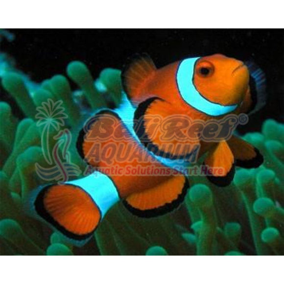 Ikan Laut Clown Fish Klonfish Marine Fish & Invertebrates Bali Reef Aquarium Online Store