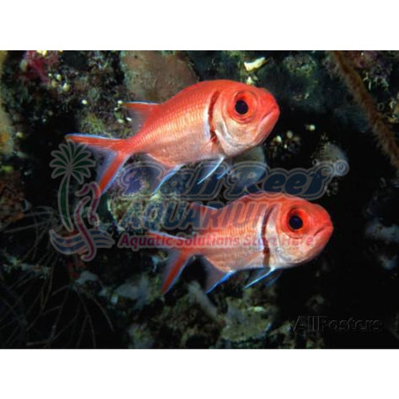 Ikan Laut: Squirrelfish Marine Fish & Invertebrates Bali Reef Aquarium Online Store