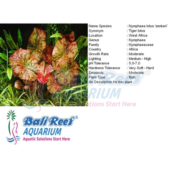 Tanaman Tawar Nymphaea Tiger Lotus Red 27042017 Bali Reef Aquarium Online Store