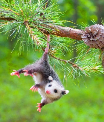 Critters - 2 squirrels and 1 possum