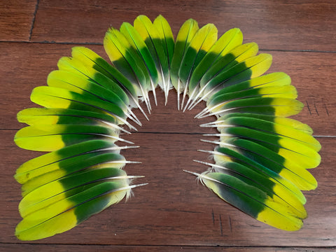 "Set of 40, 6"" Amazon tail feathers"