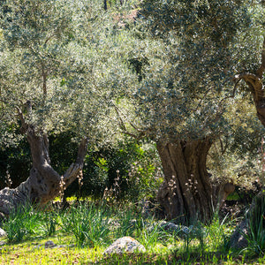 Sunshine In Idyllic Olive Tree Garden In Spain Backdrop