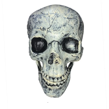 Adult Size Skull