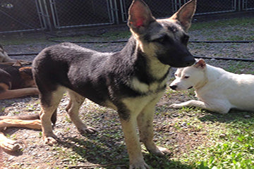 Give a Dog a Home German Shepherd Rescue