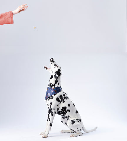 dalmation getting dog treat