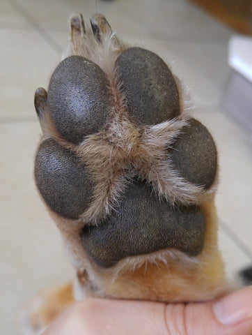 Dog paw how to take a dog print