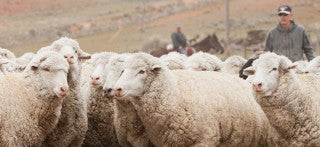 Preparing For Shearing (Photo by Jordan Brannock)