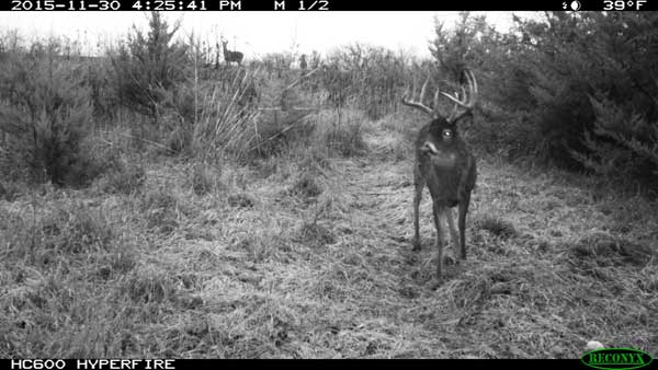 whitetail on trail camera