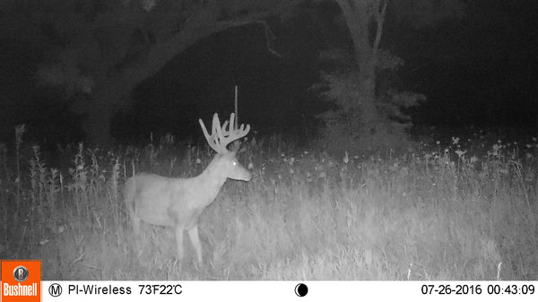 Deer at night on cellular trail camera