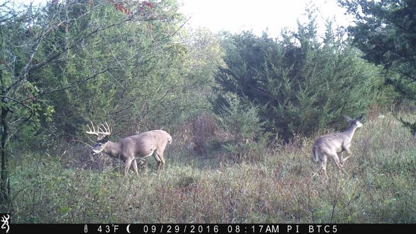 Whitetail walking in front of Browning camera