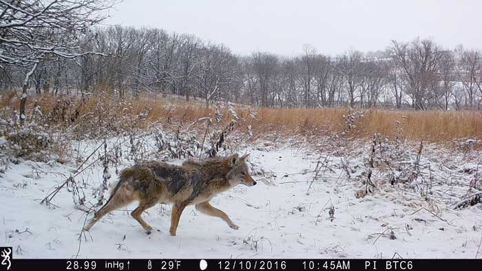 coyote trailcam
