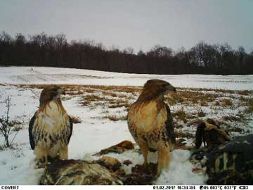 trailcam picture of two hawks