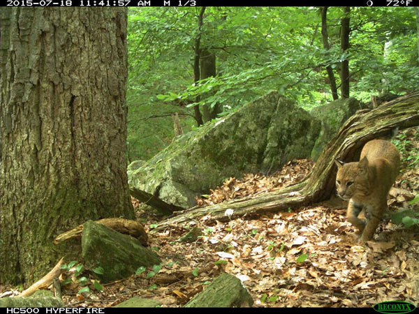 Bobcat on Reconyx game camera