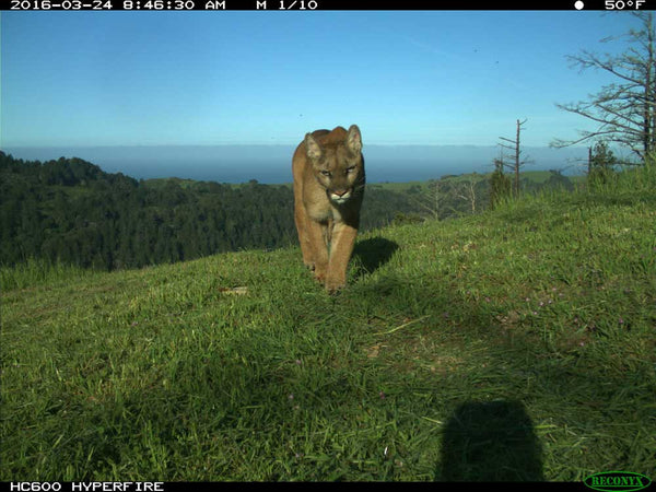 Mountain lion - photo from Reconyx camera traps
