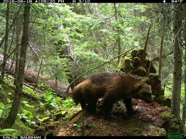 Wolverine on Reconyx trail camera