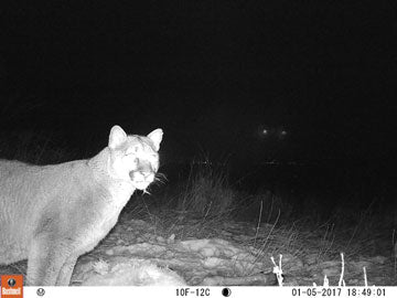 Mountain Lion Predator