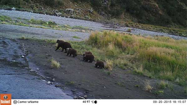 grizzly bears in alaska.