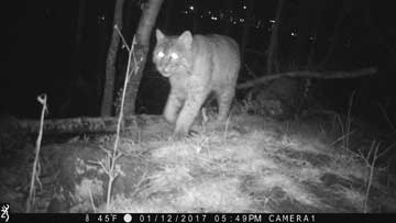 Bobcat in front of game trailcamera